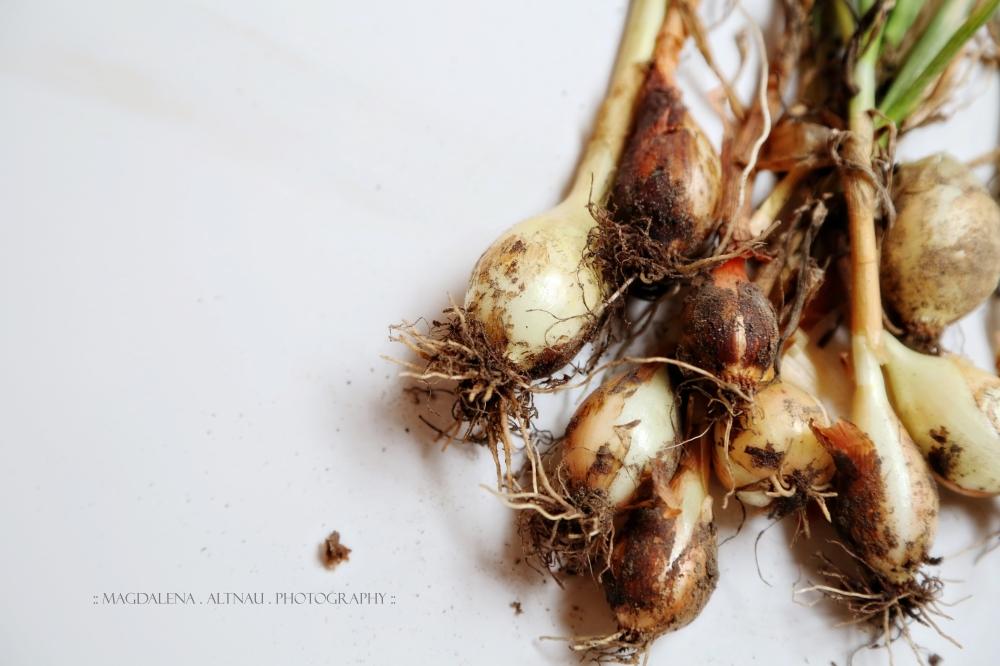 Bluestocking At Home :: Onions  I :: Magdalena Altnau