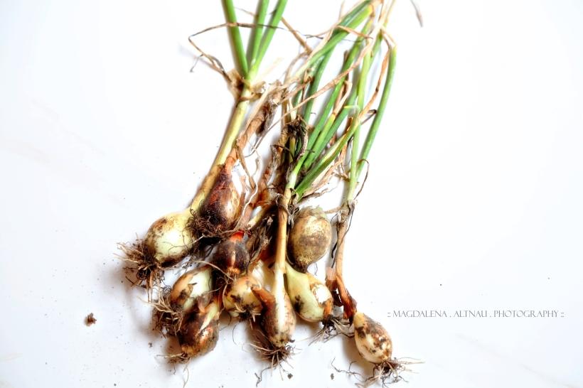 Bluestocking At Home - Onions II :: Magdalena Altnau